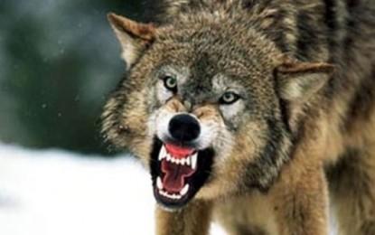 O bătrână din Argeş a fost muşcată de un lup în propria gospodărie