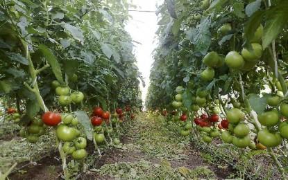 Culturile de legume lovite de caldura
